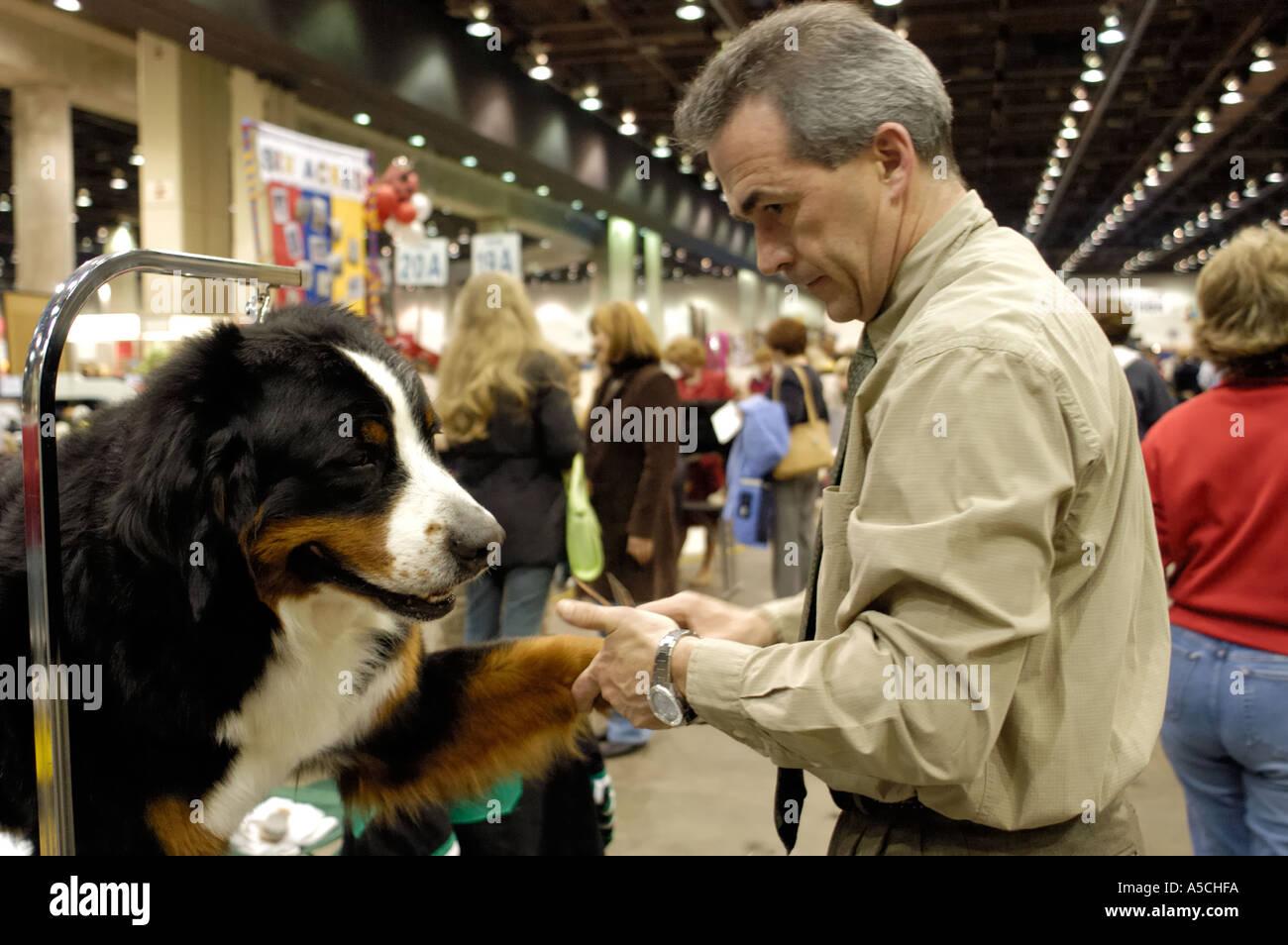 Large Male Bernese Mountain Dog Stock Photos Large Male