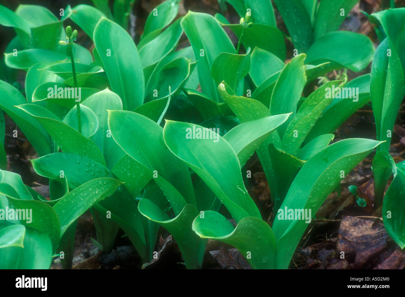 Blue bead lily (Clintonia borealis) Emerging leaves and flowers in large woodland colony. Killarney Provincial Park Ontario - Stock Image
