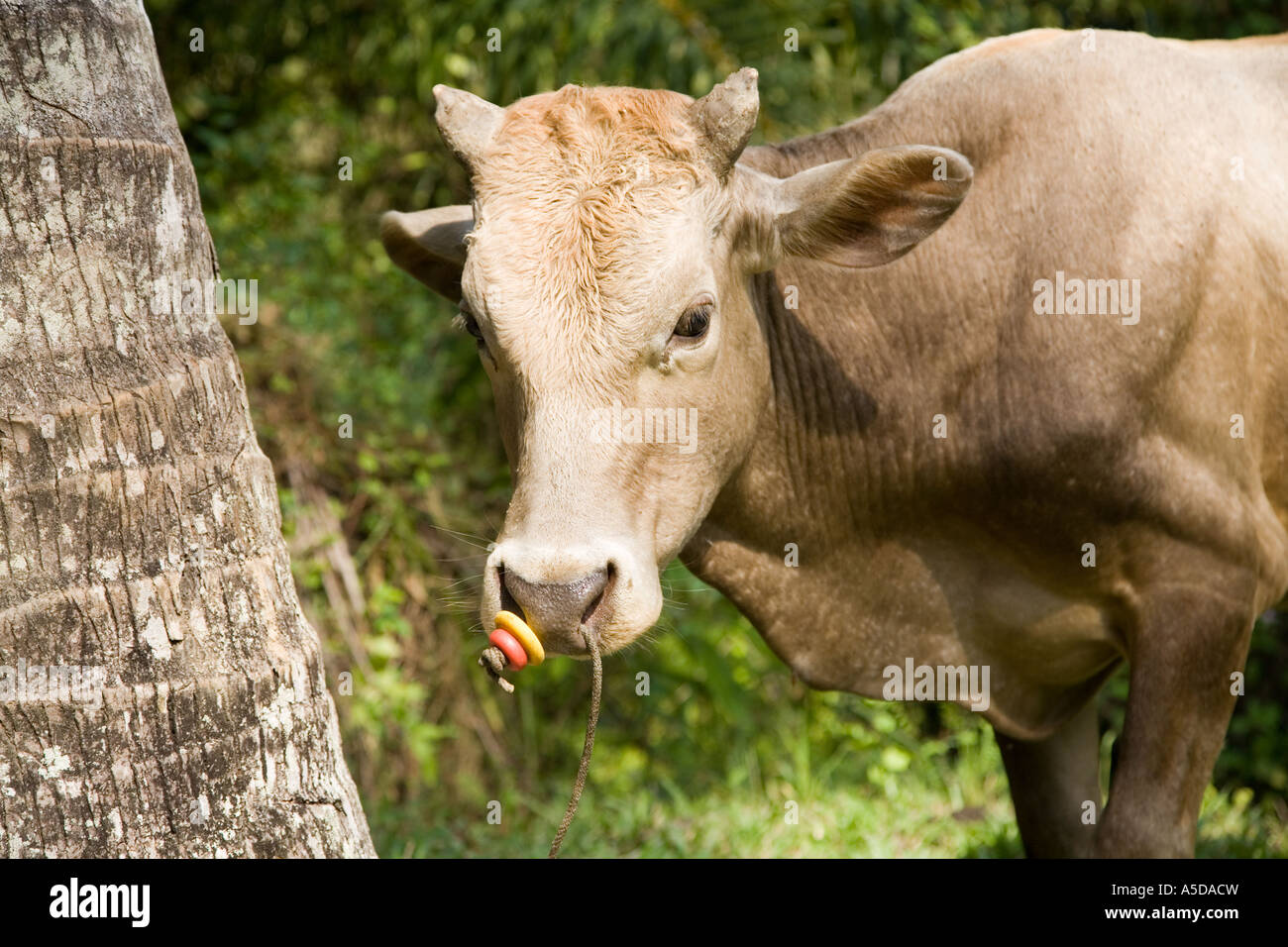 Cow Tethered, by the nose, farm, travel, cattle, agriculture  An Asian bovine farm animal secured for grazing in - Stock Image