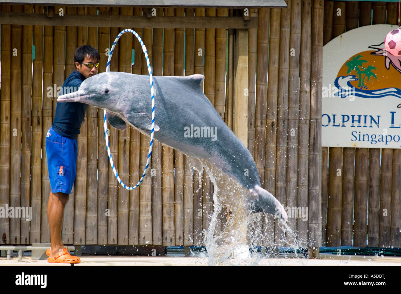 Stock photo of a pink dolphin leaping through a hoop at the Dolphin Lagoon on Sentosa Island Singapore - Stock Image