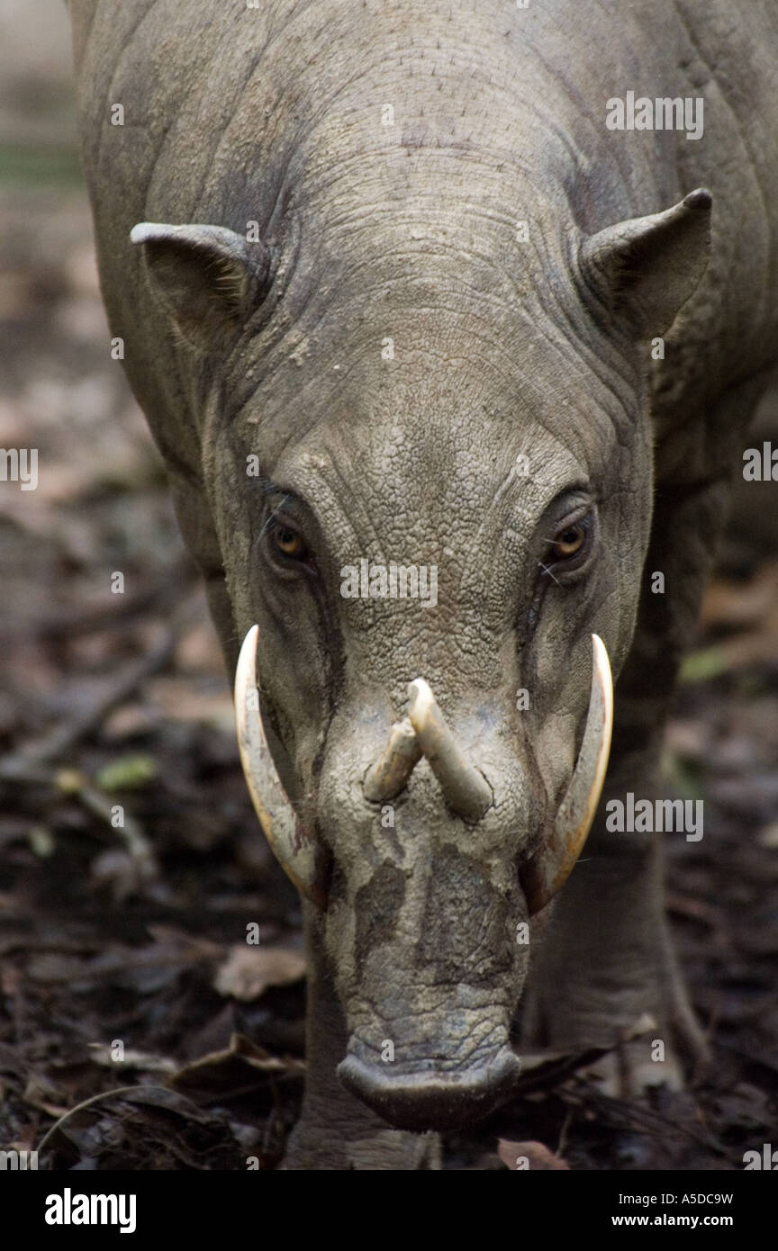 Stock photo of a male babirusa or pig deer - Stock Image