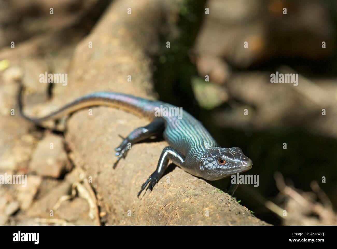 bluegreen blue green lizard in the sun at Apia Samoa Upolu Western west Samoa mount mt mt. vaea SAMOA ISLAND - Stock Image