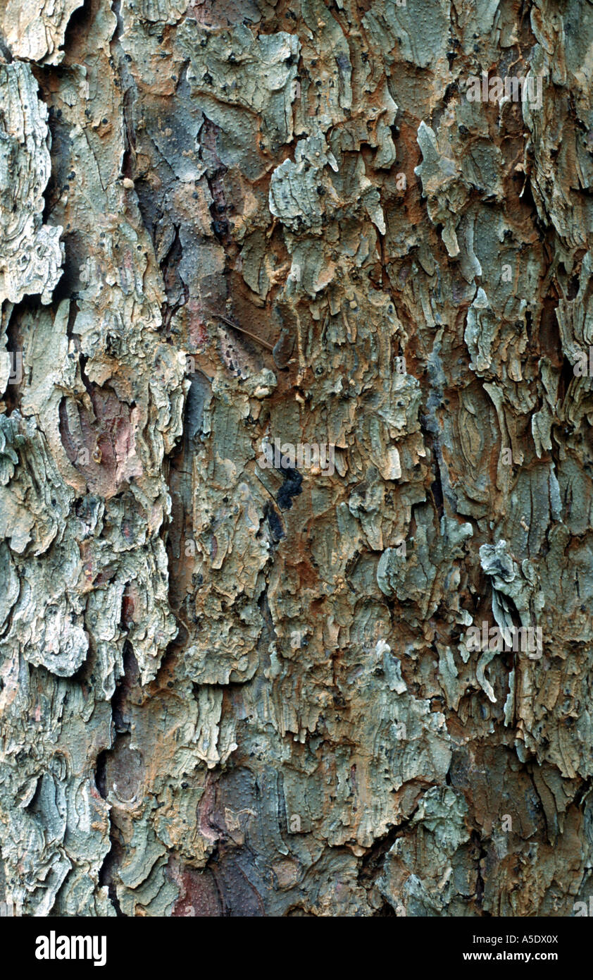 Colorado blue spruce (Picea pungens), bark - Stock Image