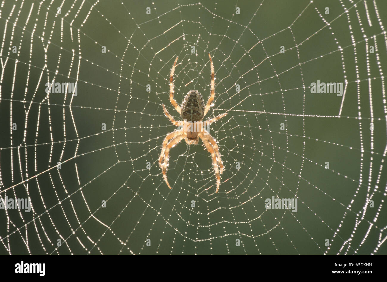 cross orbweaver, European garden spider, cross spider