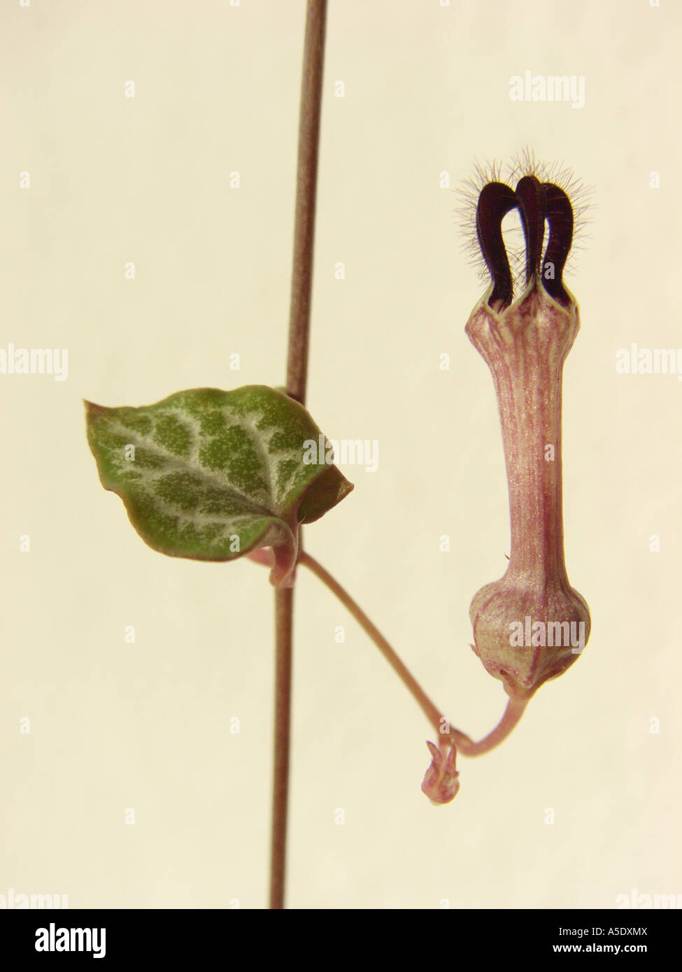 String of Hearts, Rosary Vine (Ceropegia woodii, Ceropegia linearis ssp. woodii), flower and leaf, treacherous trap Stock Photo