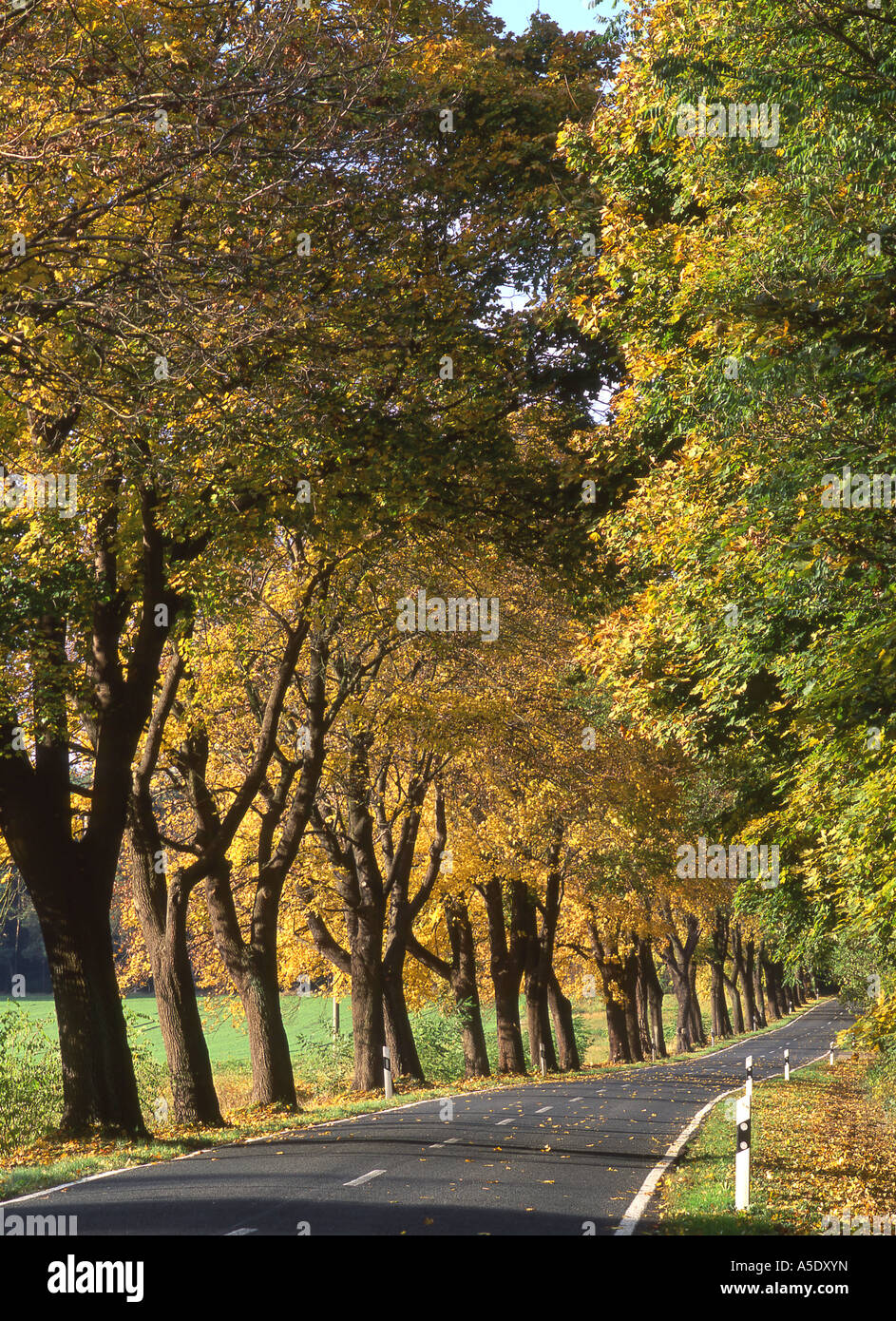Norway maple (Acer platanoides), avenue at the Hoher Flaeming landscape, Germany - Stock Image