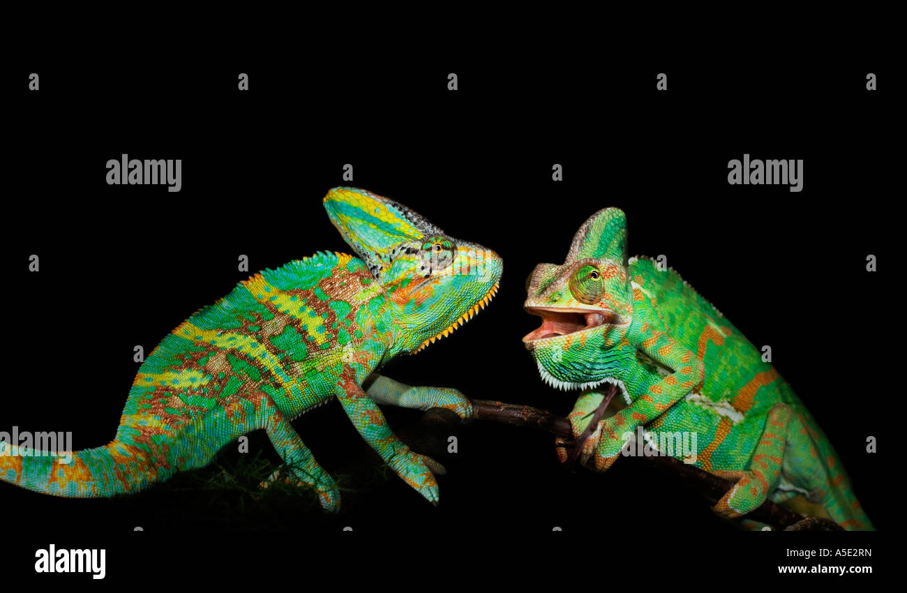 2 two pair couple male green yellow helmet chameleon on black plain background cut out cutout Veiled - Stock Image