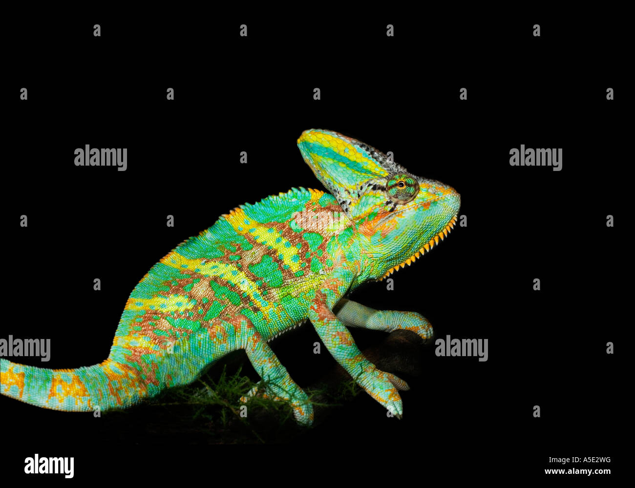1 one single green yellow helmet chameleon on black plain background cut out cutout Veiled - Stock Image