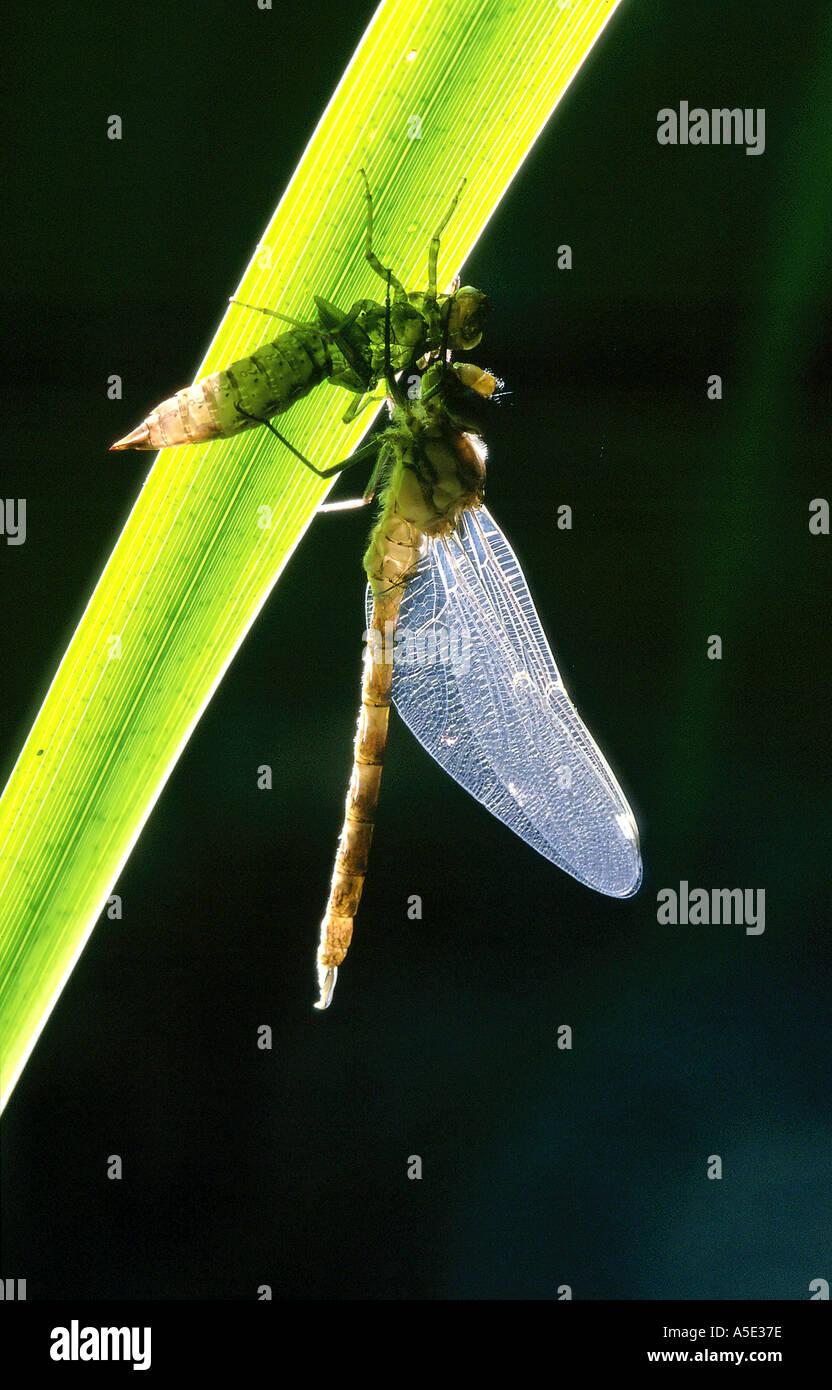 Metamorphosis of the bluegreen dragonfly - Stock Image