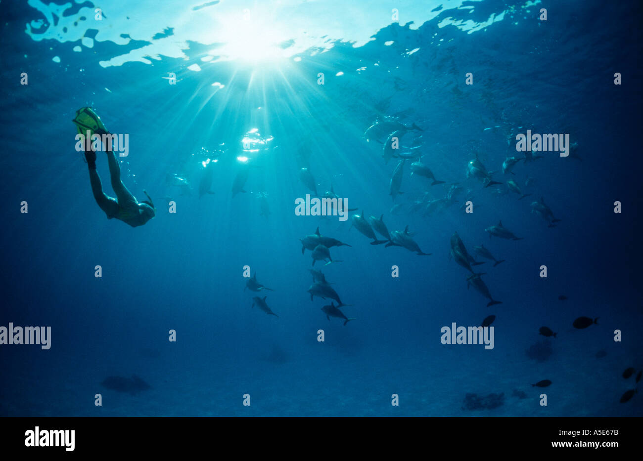 girl swimming with wild dolphins, Stenella longirostris, longsnouted dolphins - Stock Image