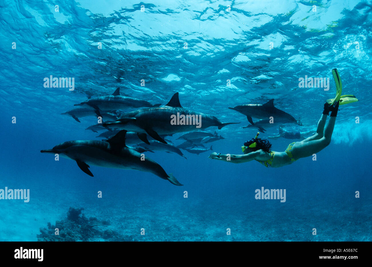 girl swimming with wild dolphins, Stenella longirostris, longsnouted dolphin dolphins, Red Sea, Egypt - Stock Image