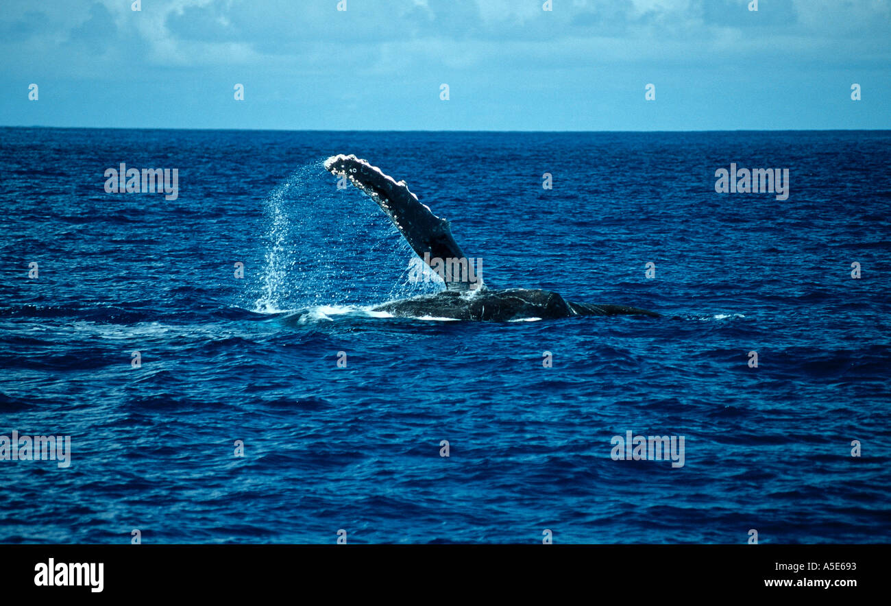 with his pectoral fin waving humpback whale, Megaptera novaeangliae - Stock Image
