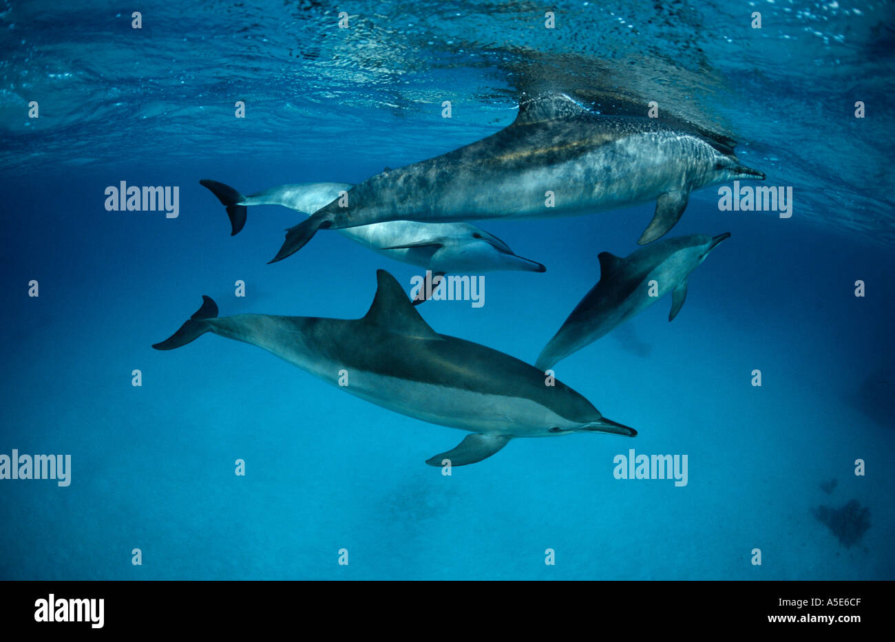 school of wild living dolphins Tursiops aduncus - Stock Image