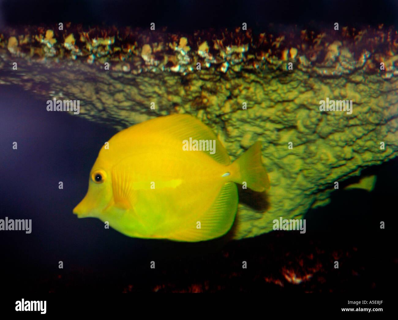 Yellow Tang Fish (Zebrasoma flavescens) - Stock Image