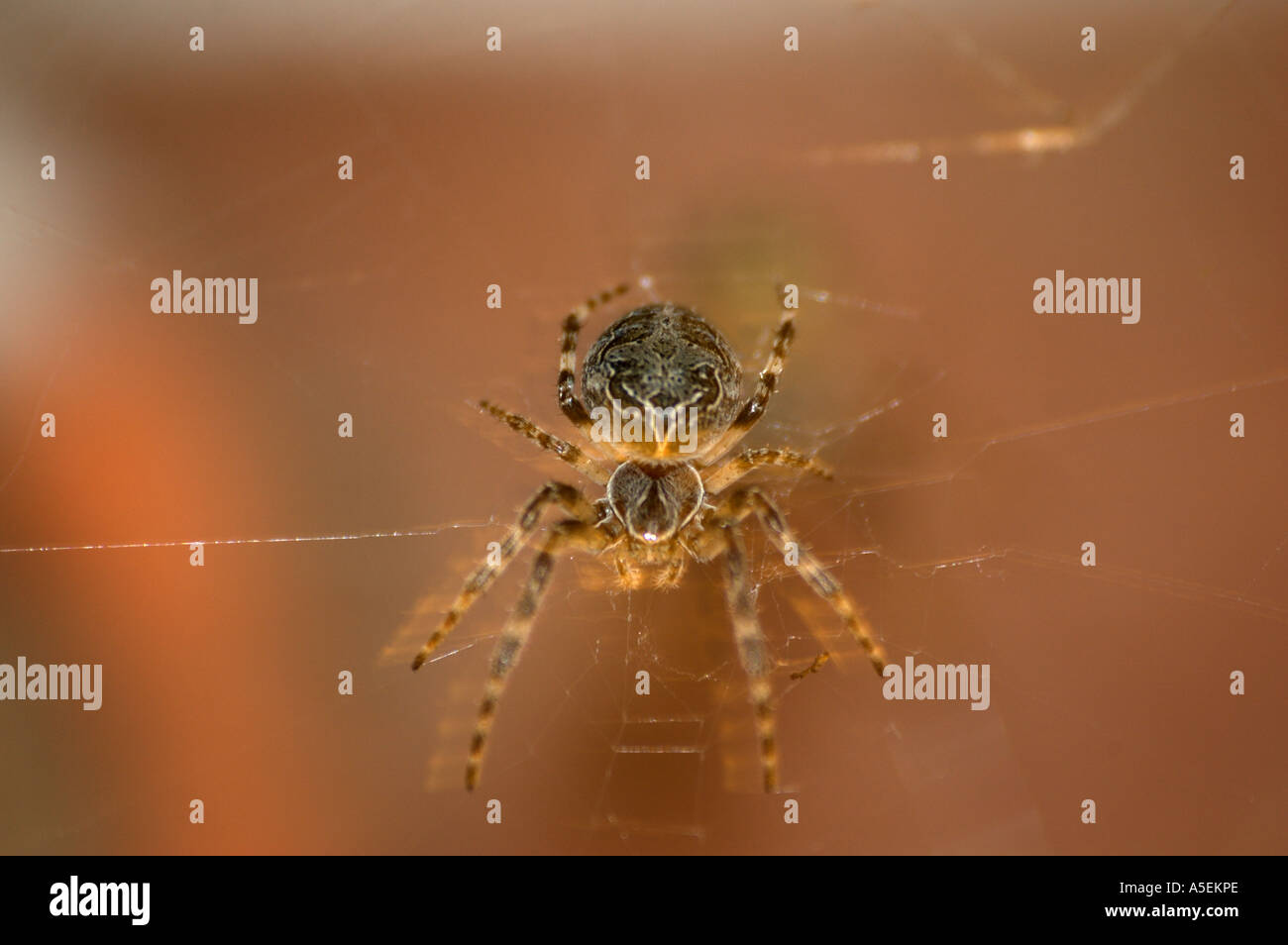 Walnut orb weaver spider - Stock Image