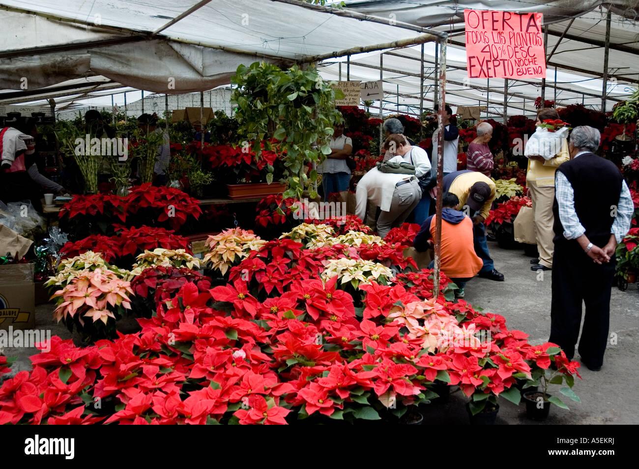 Christmas Flower Poinsettias Poinsettia Xochimilco Mexico Stock Photo Alamy
