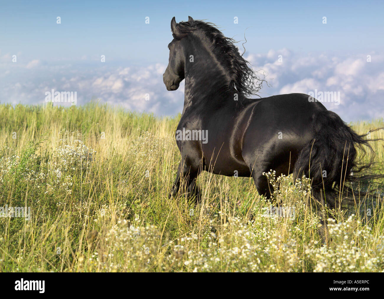 Friesian Horse stallion runs through wild meadow with cloulds visible below - Stock Image