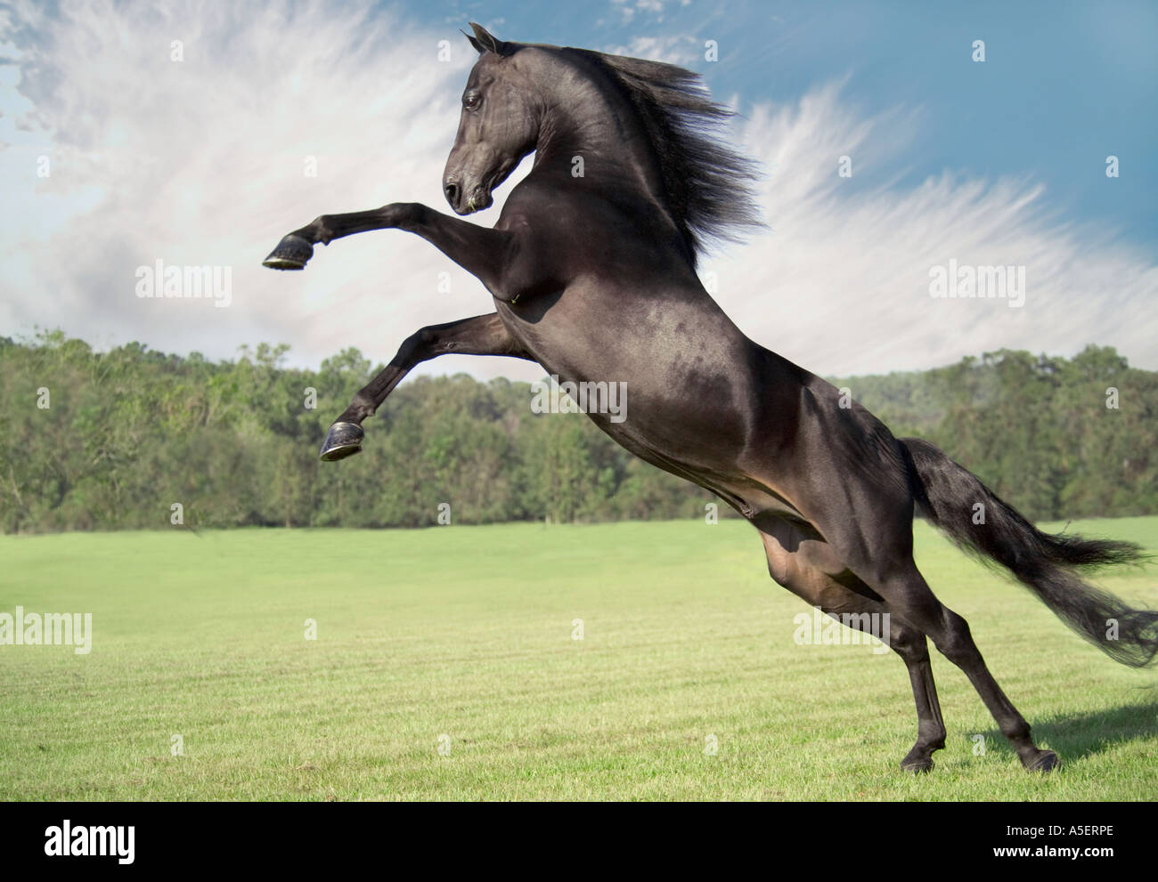 Rearing and leaping Morgan Horse stallion. - Stock Image