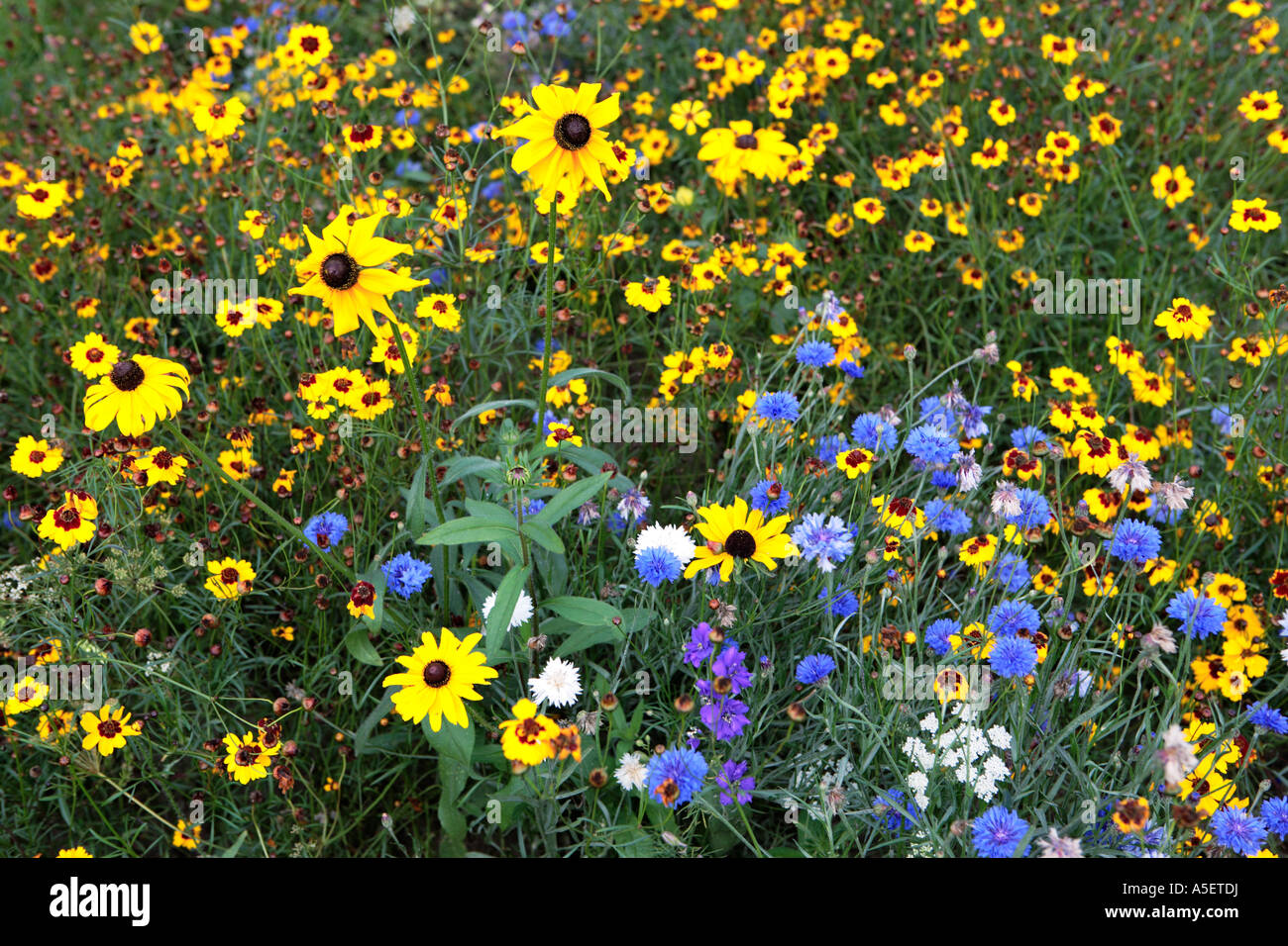 Mixed Yellow And Blue Flowers In Field Stock Photo 11291549 Alamy