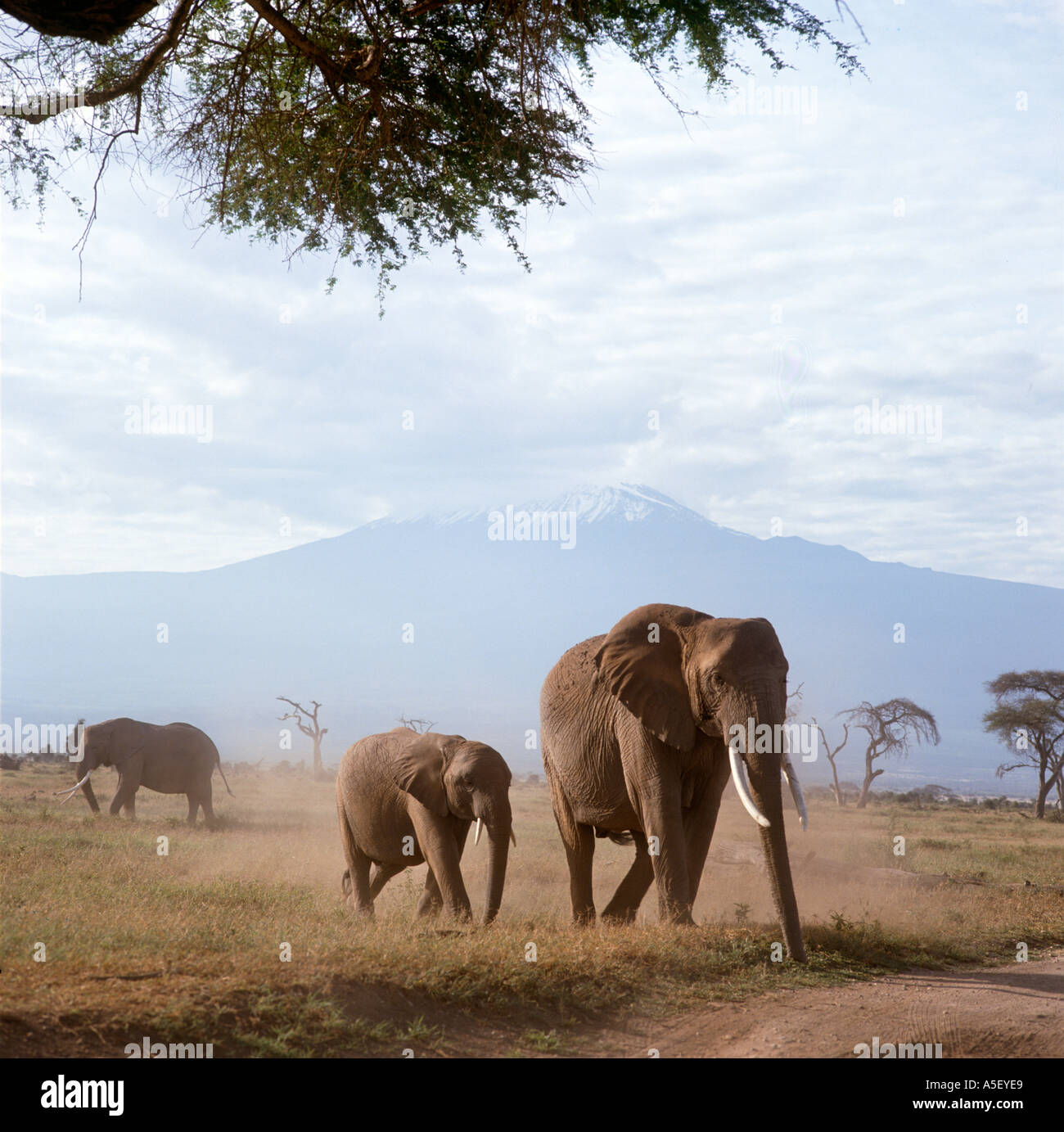 Kenya, Safari. Elephants in front of Mount Kilimanjaro, Amboseli National Park, Kenya, East Africa - Stock Image