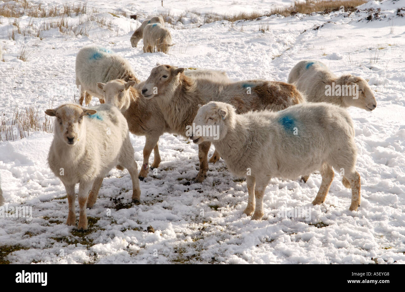 Flock of sheep forage for food in winter on snow covered mountainside in Brecon Beacons National Park Blaenavon Wales UK - Stock Image