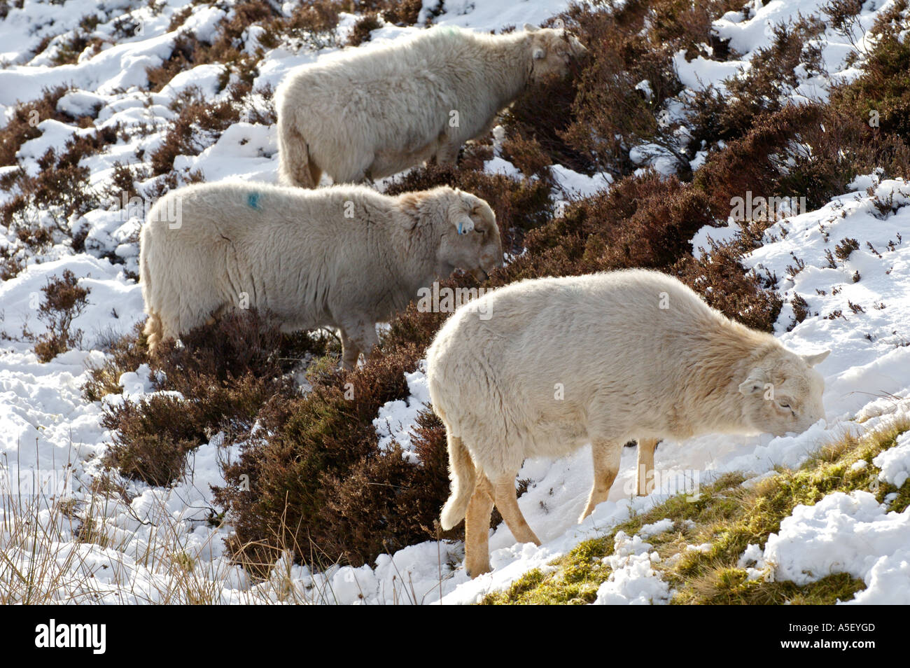 Sheep foraging for food under snow in Brecon Beacons National Park Blaenavon Wales UK - Stock Image