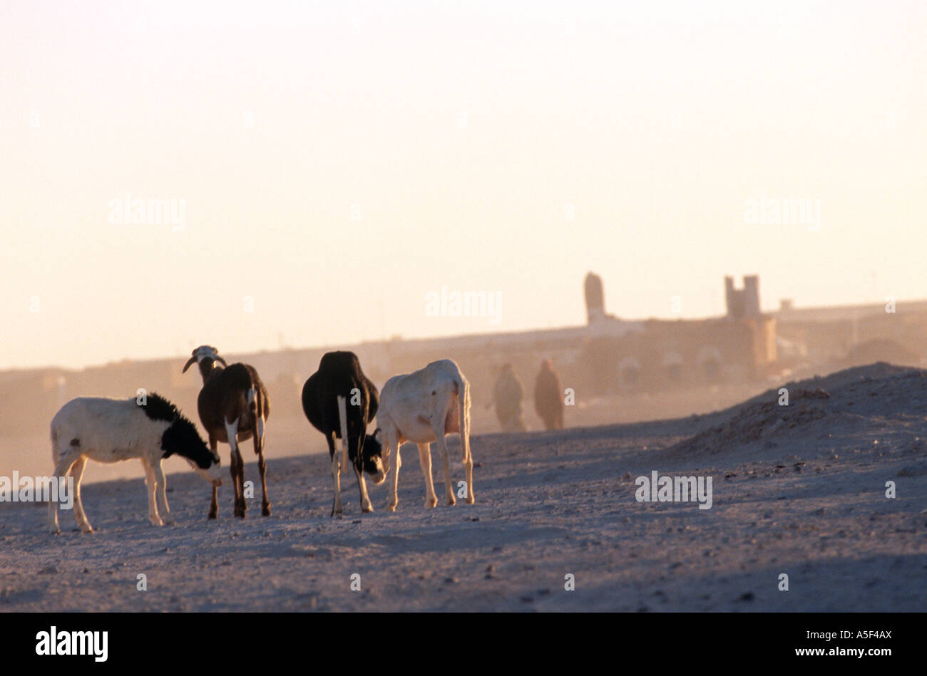 Goat farming in Saharawi refugee camp in Tindouf Western Algeria - Stock Image
