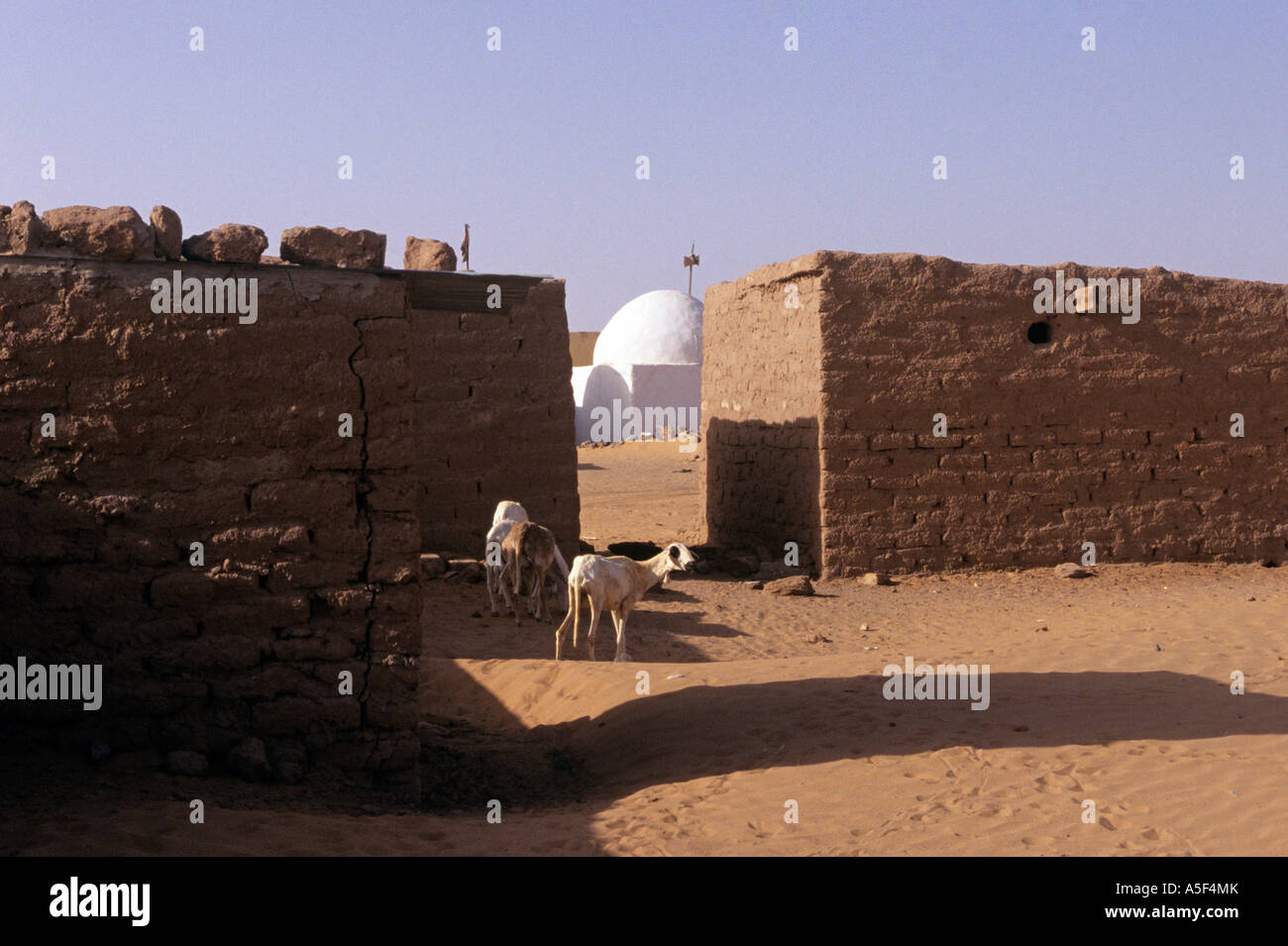 Goats in the Saharawi refugee camp in Tindouf Western Algeria - Stock Image