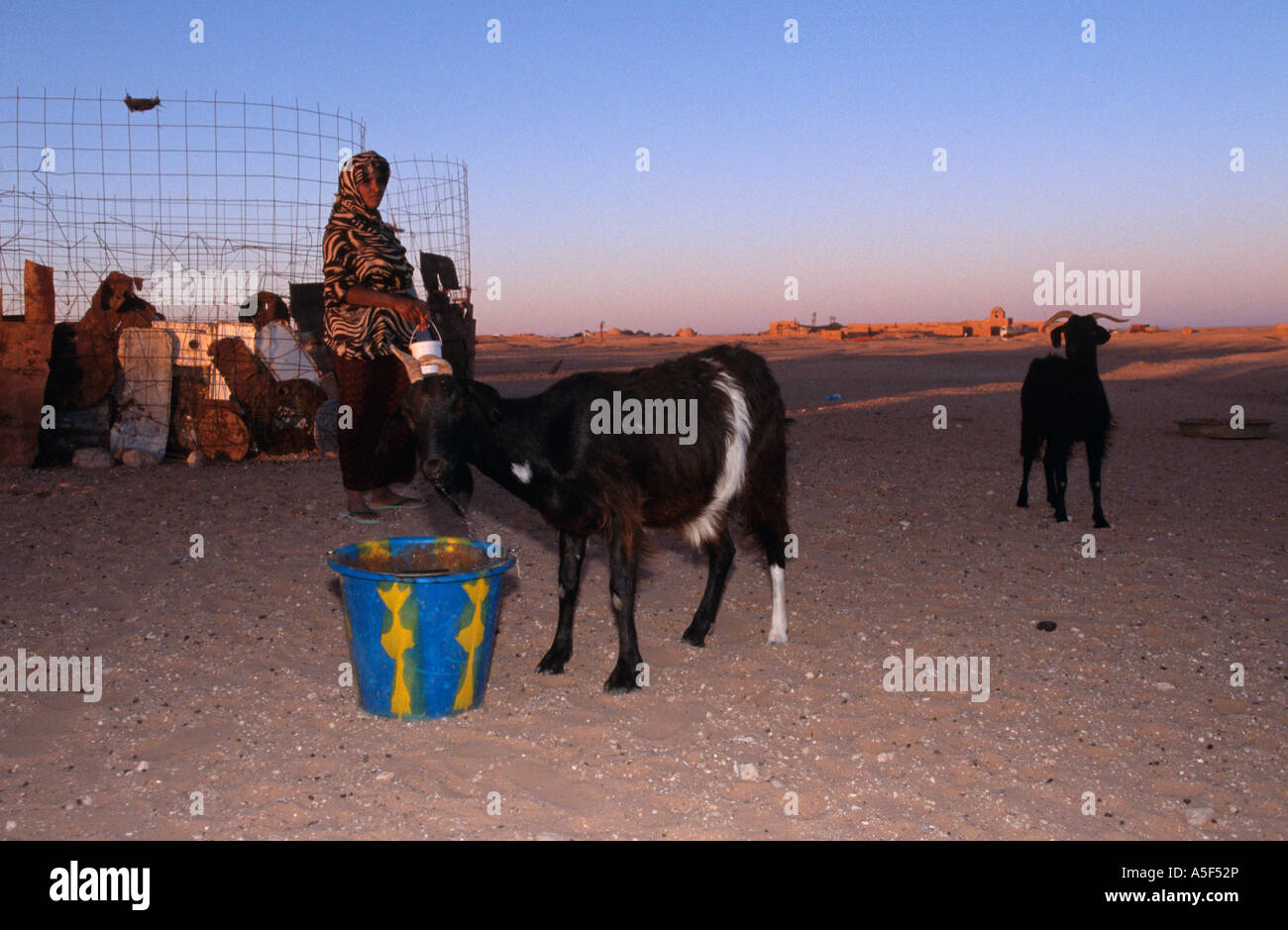 Goat farming in the Saharawi refugee camp in Tindouf Western Algeria - Stock Image