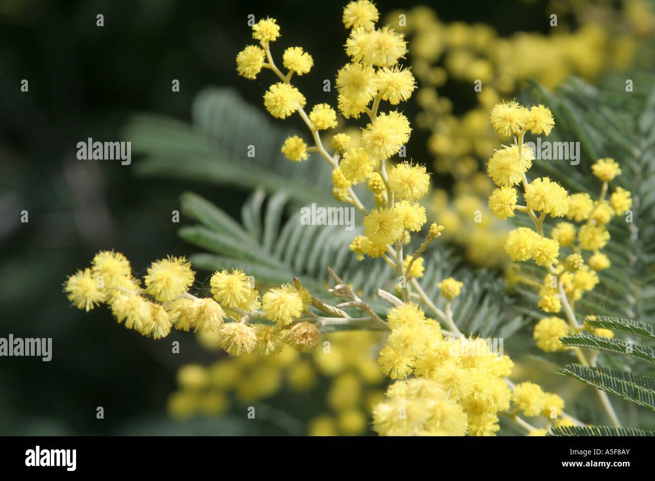 flowering Mimosa Acacia dealbata  Algarve Portugal - Stock Image