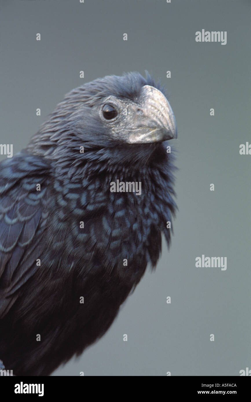 Groove billed Ani - Stock Image