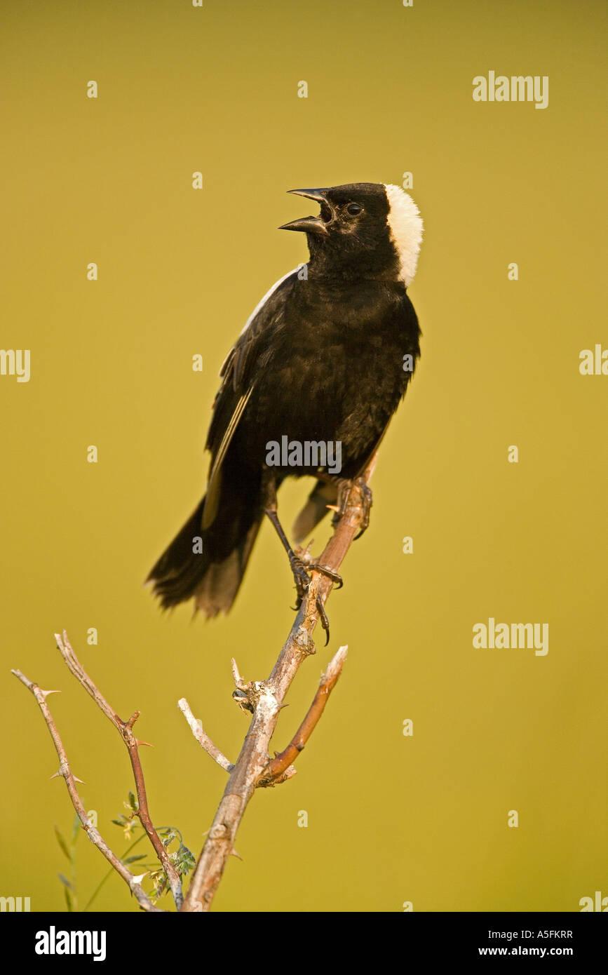 Bobolink Dolichonyx oryzivorus New York male singing to declare territory - Stock Image
