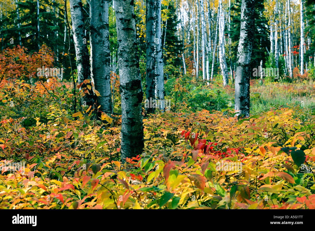 A stand of birch trees and brush in an explosion of fall color in ...