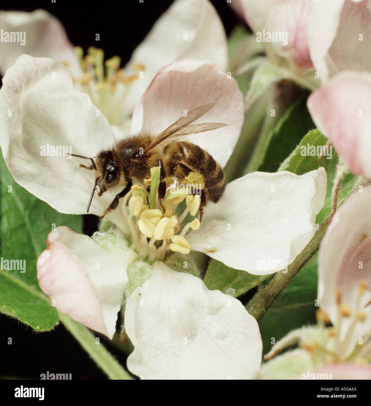 Honey bee Apis mellifera collecting pollen from an apple flower in spring - Stock Image