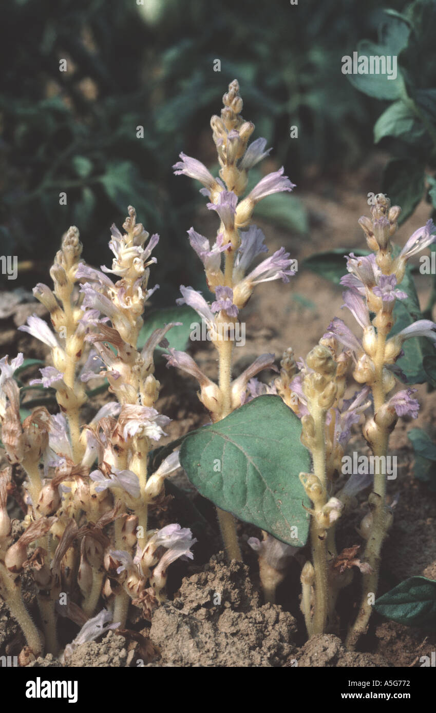 Branched broomrape Orobanche ramosa flowering in tomato crop on which it is a parasite Stock Photo
