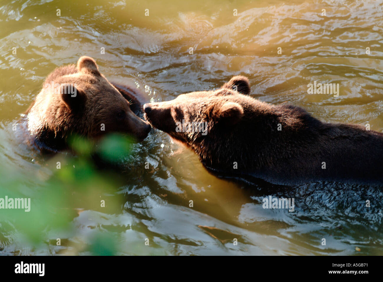 Two young 1 1 2 years old brown bear siblings Ursus arctos playing in a pond Blurred  - Stock Image