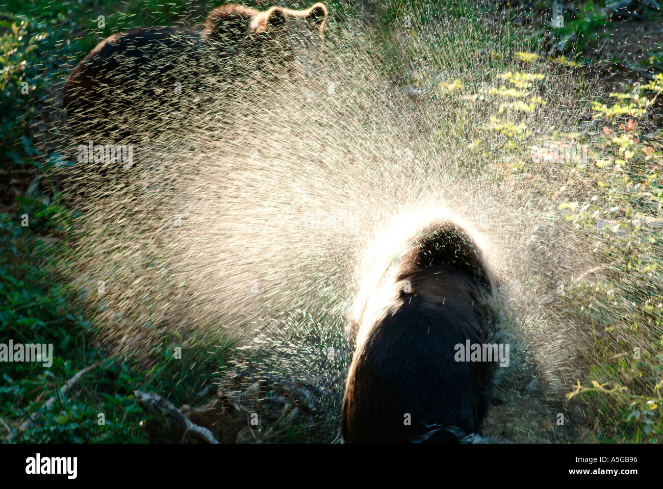 A young brown bear Ursus arctos shakes his wet fur while his sibling is waiting for him  - Stock Image
