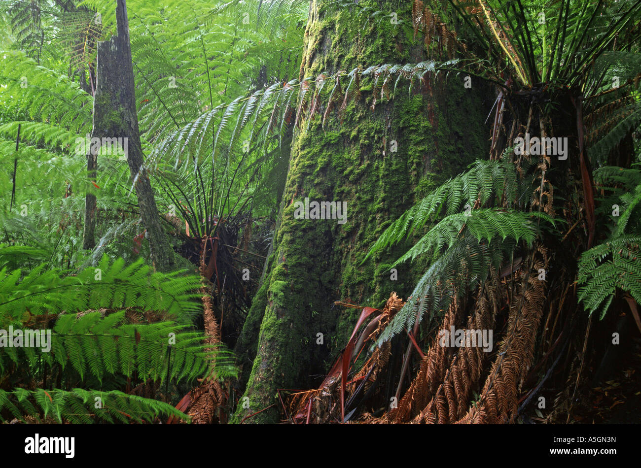 mountain ash, Victorian ash (Eucalyptus regnans), mossy tree trunk, world highest broadleaved tree, Australia, Tarra - Stock Image