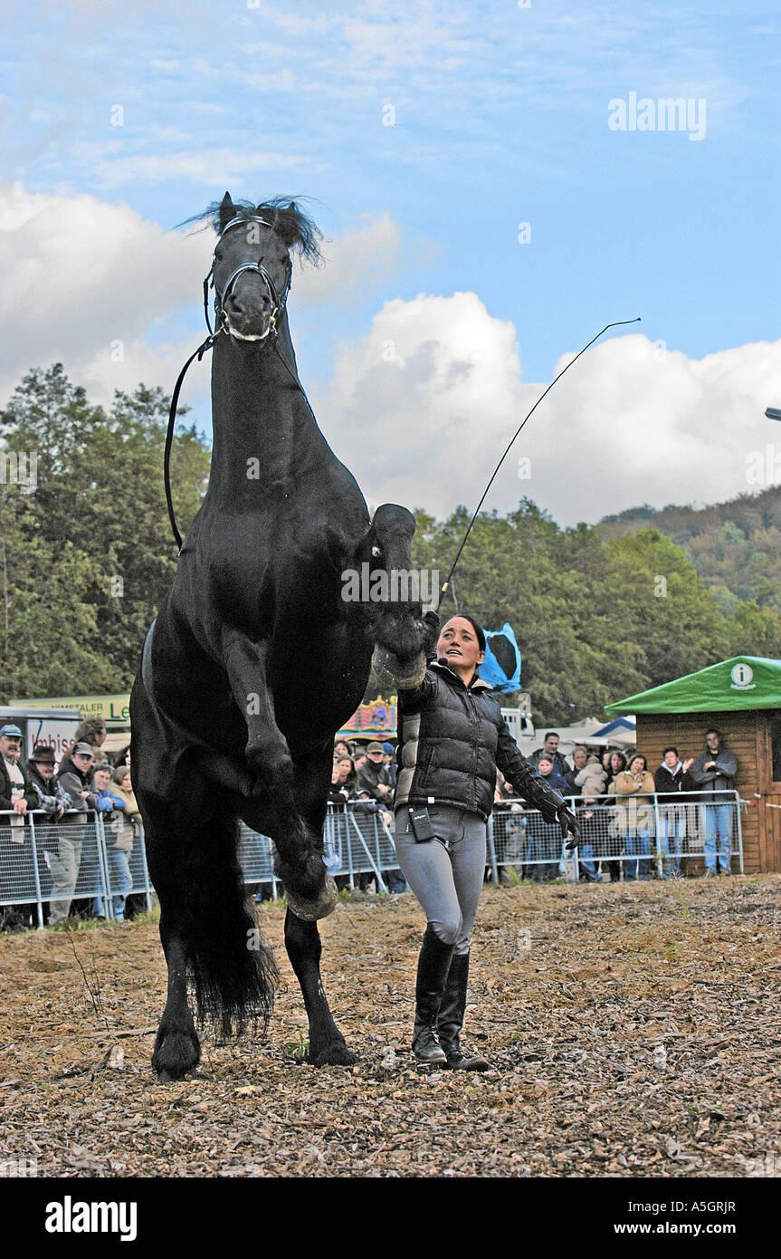 Friesian Horse Friesenpferd - Stock Image