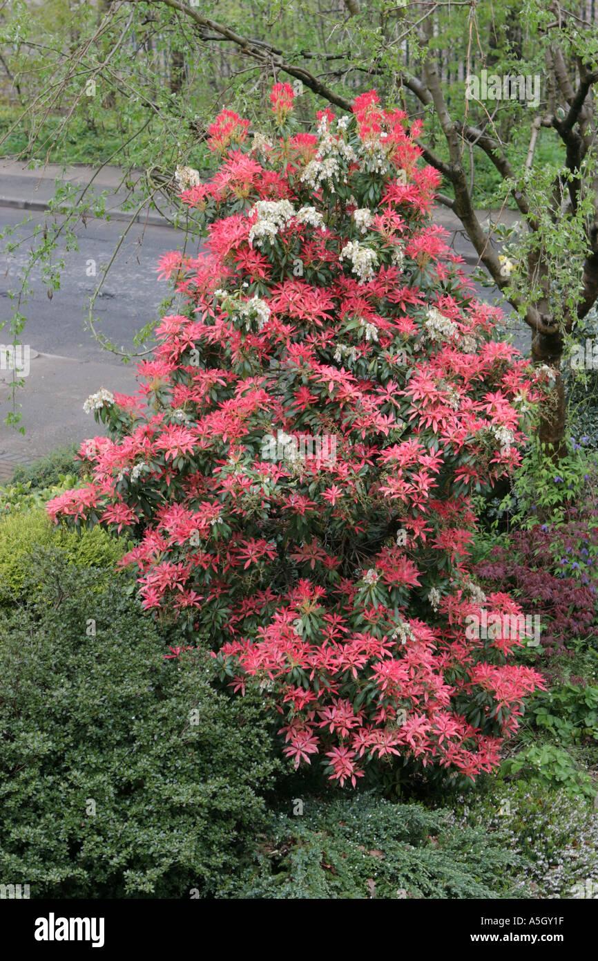 """Pieris Forest Flame-Pieris Forest Flame usine en 3.5 /""""pot"""