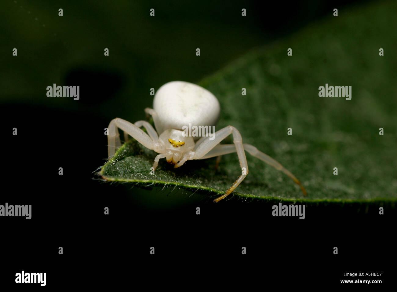 White Crab spider, Misumena vatia Stock Photo
