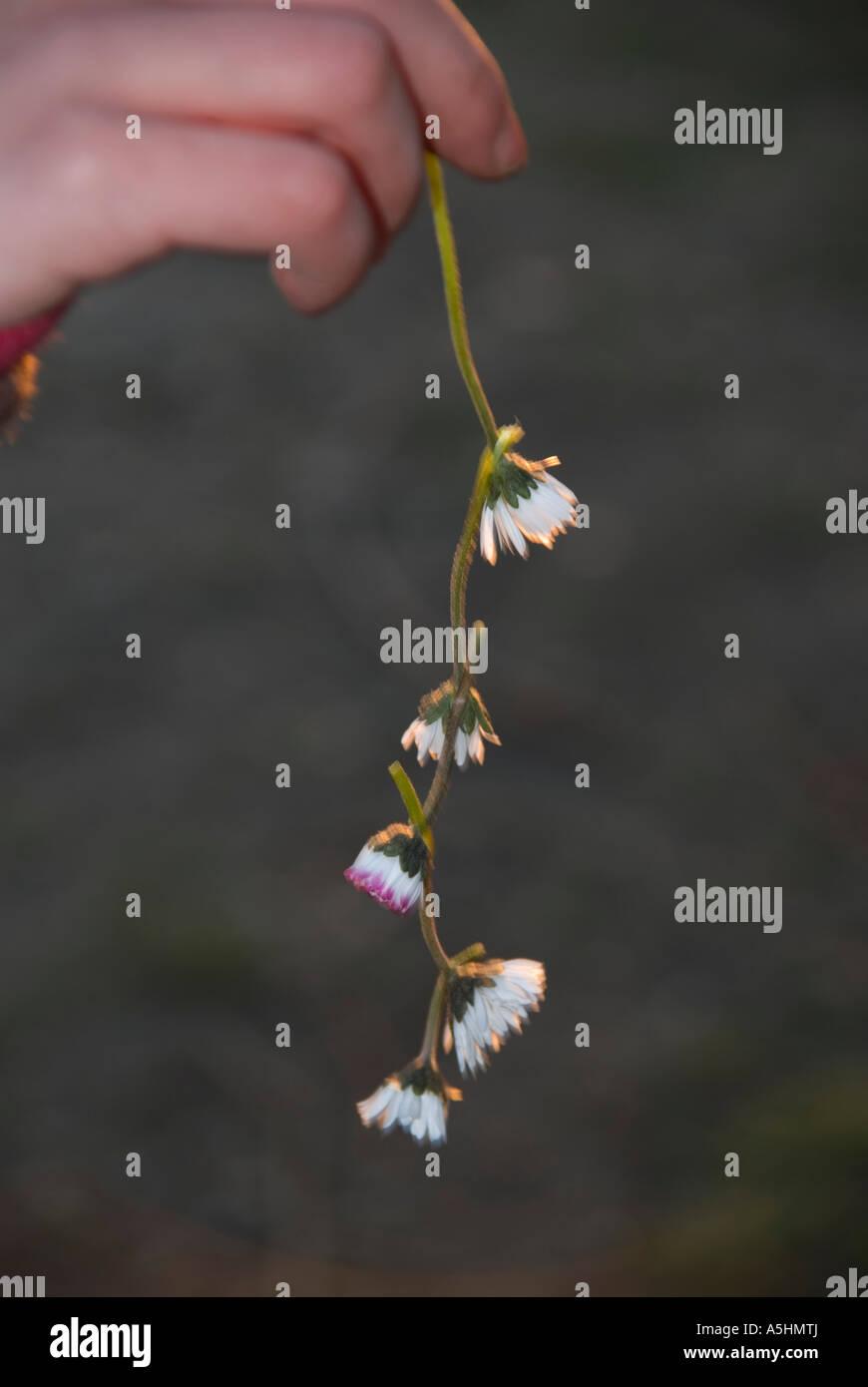 dandelions dangle hanging spring flower undignified - Stock Image
