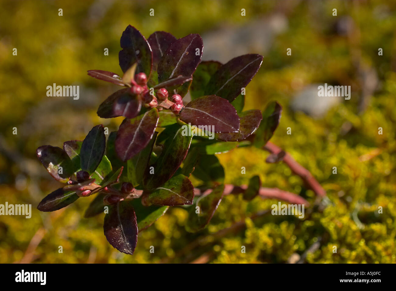 Box Huckleberry - Stock Image