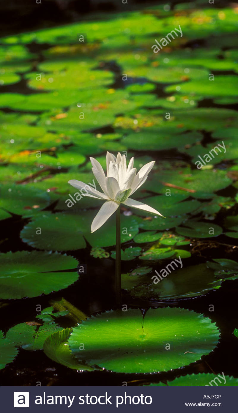 A tropical waterlily from Papua New Guinea - Stock Image