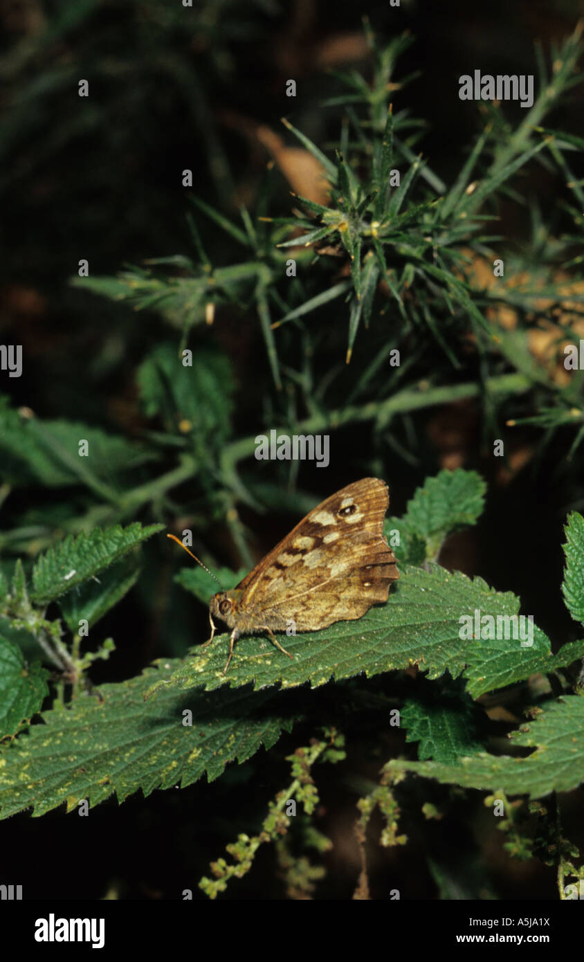 Speckled Wood Butterfly (Pararge aegeria) in the uk Stock Photo