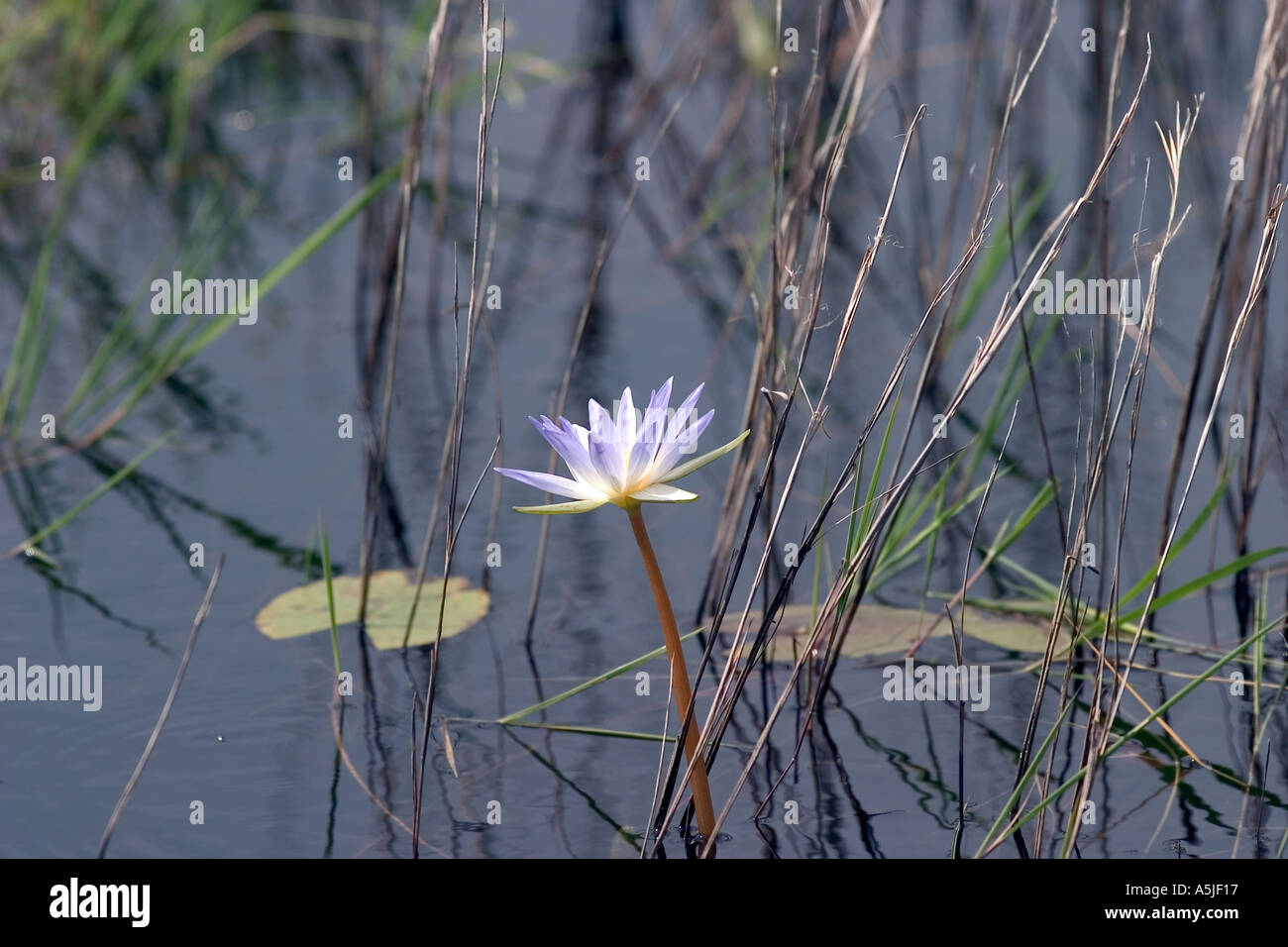 Water Lily Aransas National Wildlife Refuge Austwell Texas USA - Stock Image