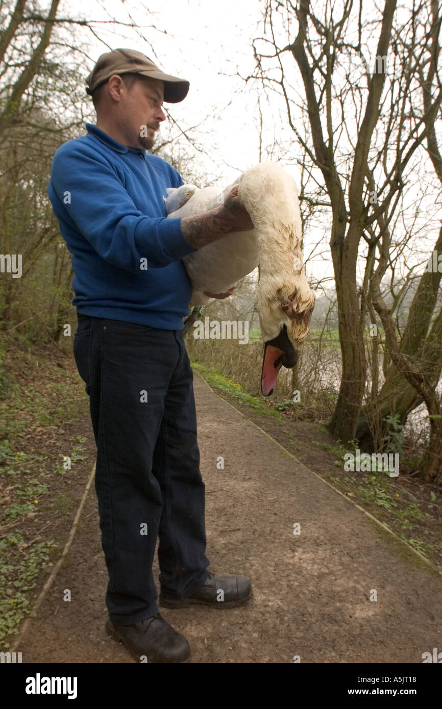 Mute swan killed by youths using an air rifle with lock keeper - Stock Image