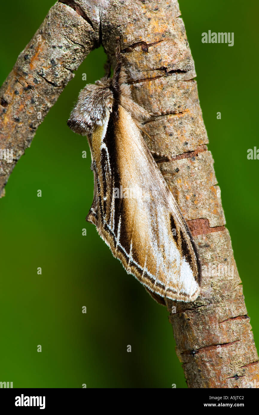 Swallow Prominent Pheosia tremula at rest on twig with out of focus background potton bedfordshire - Stock Image