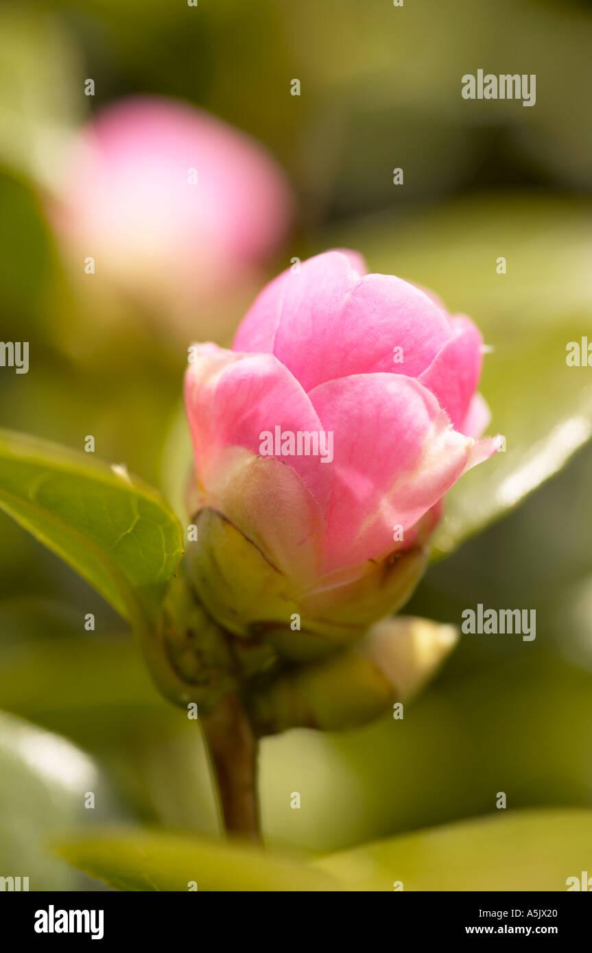 Camelia x williamsii E G Waterhouse coming into bloom - Stock Image