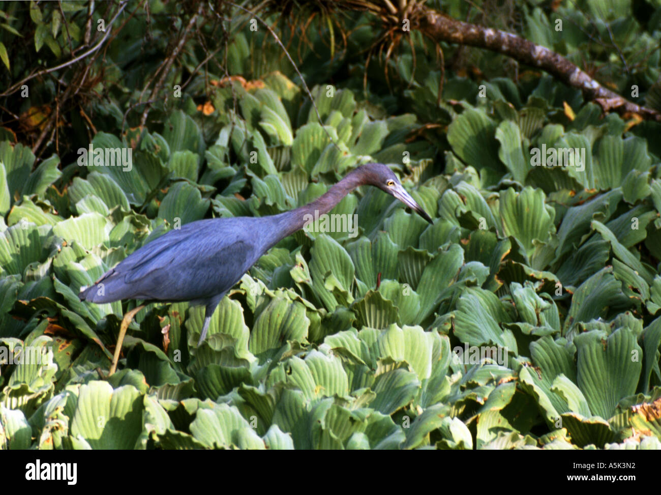 Heron & Swamp Cabbage Stock Photo